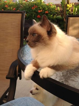 Our Friend Perry The Birman