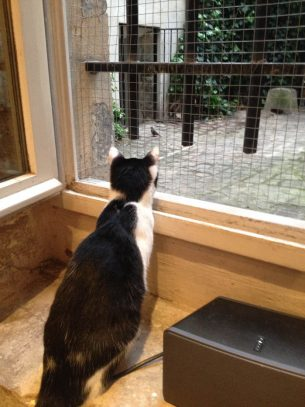 Paris Cat Cafe  Resident watching Bird