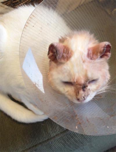 Cat Ear Surgery