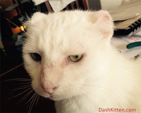 cat ear surgery Harvey at Dash Kitten