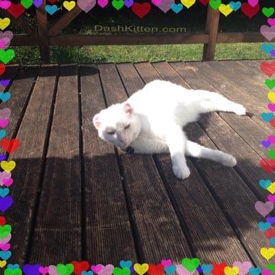 Harvey the White Cat in Summer