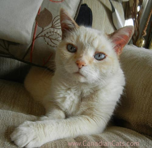 siamese cat, older cat, cream siamese, cat looking
