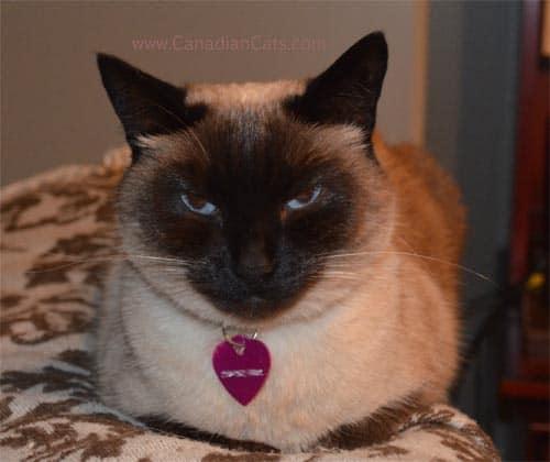 classic siamese. aristocratic siamese cat, cat posing