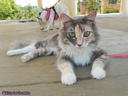 CH Kitties Sophie from Kitty Cat Chronicles