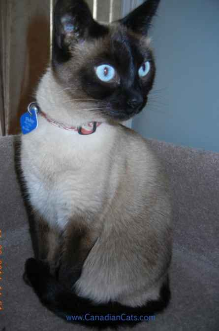 siamese cat, posing cat, elegant siamese, blue eyed cat, blue eyed kitty,