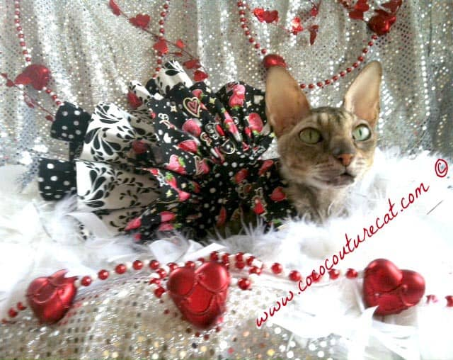fashionable cat Coco wearing her Valentine's Day costume,