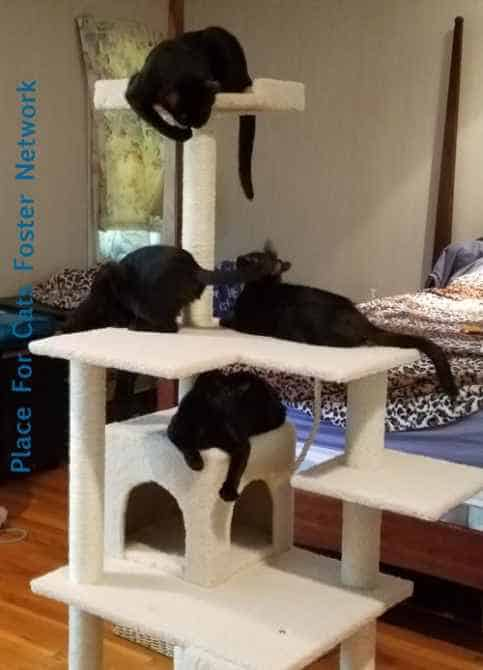 CINDERELLA, MULAN, JASMINE AND MERIDA - playing joyfully as kittens do. Adopt them from place for Cats NOW!