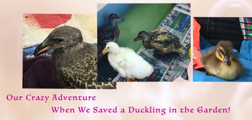 Our Crazy Adventure When We Saved a Duckling in the Garden