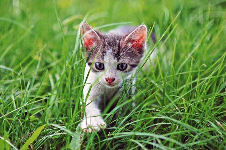 Young stalking cat