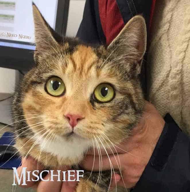 Mischief a Neko-Ngeru Adoptable Cat