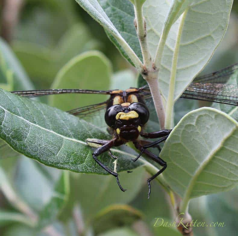 New Zealand Nature – The Giant Dragonfly