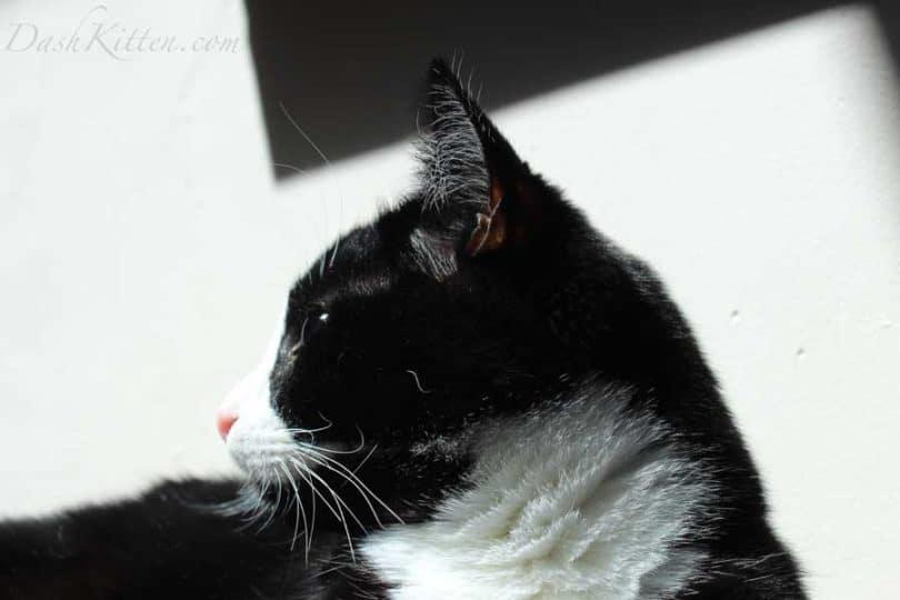 Cat in Profile Harry the tuxedo cat picture
