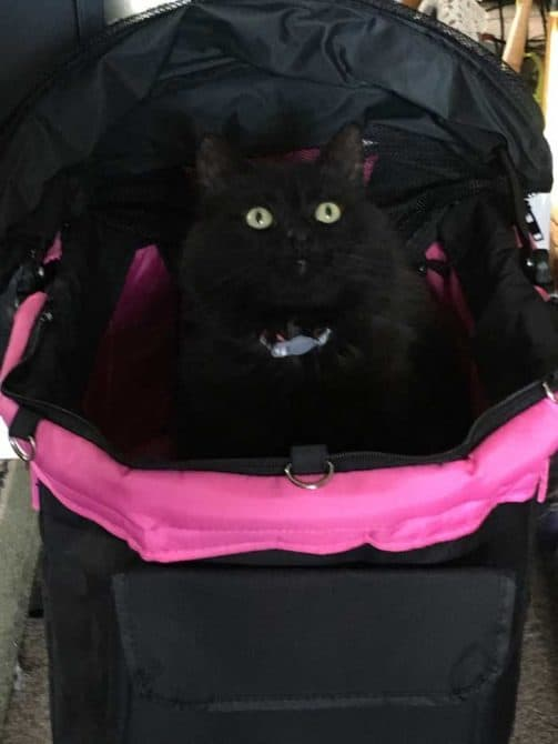 Phoebe the Black Cat