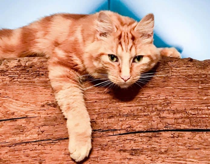 Bionic Basil Ginger cat
