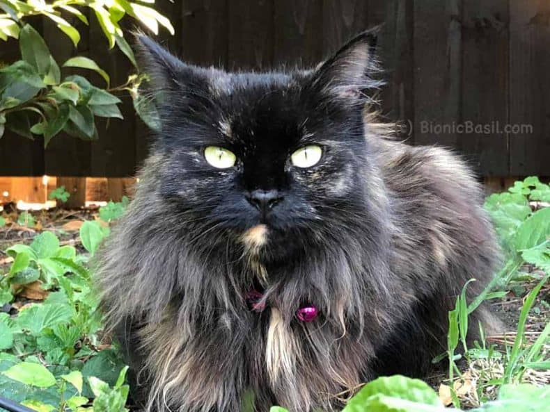 Pandora the long haired cat