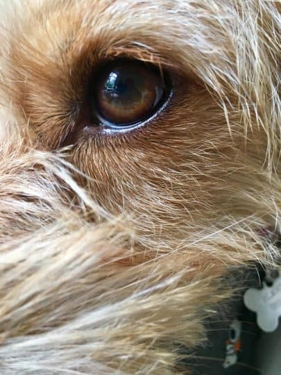 Scruffy Little Terrier Dog Photograph