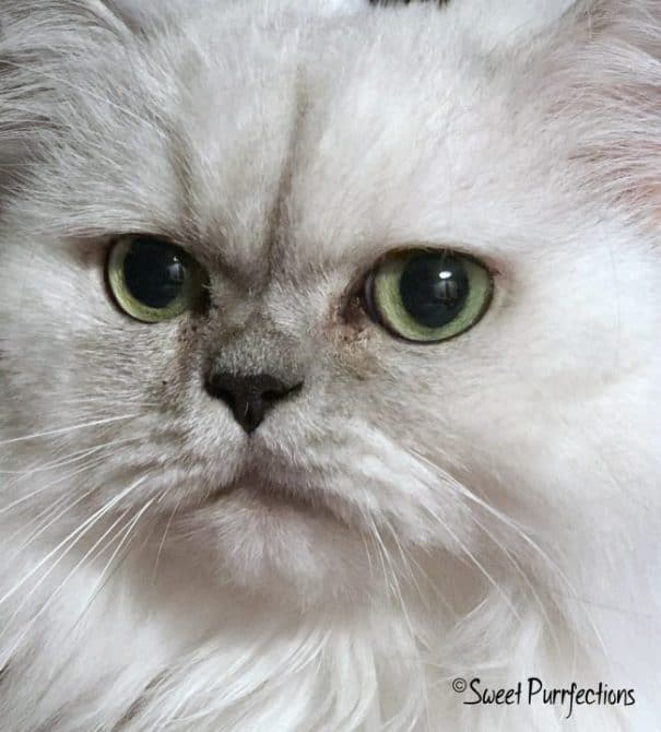 Sweet Purrfections Persian cat