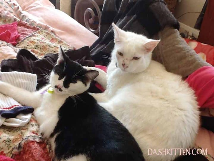 cats cuddling together Tuxedo Cat and white cat portrait