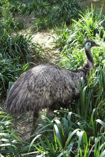 Emu in the shade