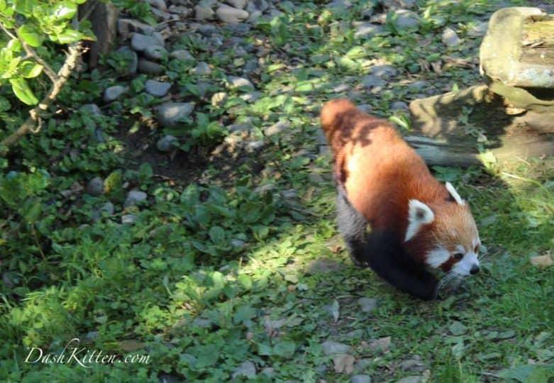 Shady Red Panda