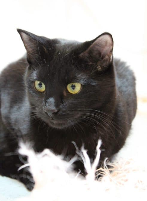 Ground level portrait of a Black Cat showing how effective a plain background can be