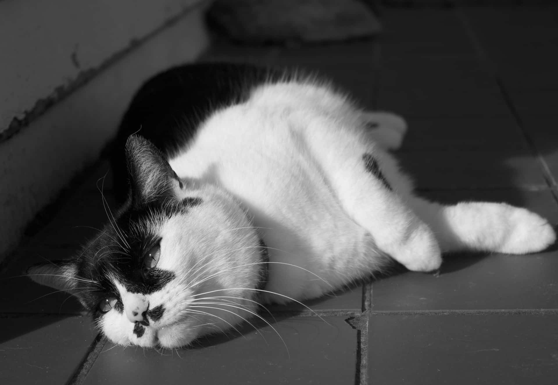 Black and White Portrait of a tuxedo cat from ground level