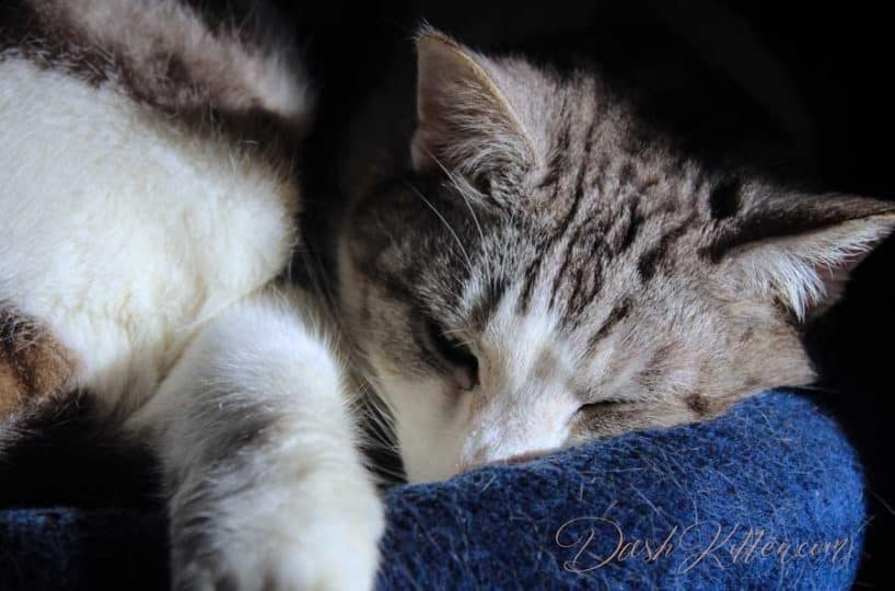 Silver Tabby Cat Sleeping