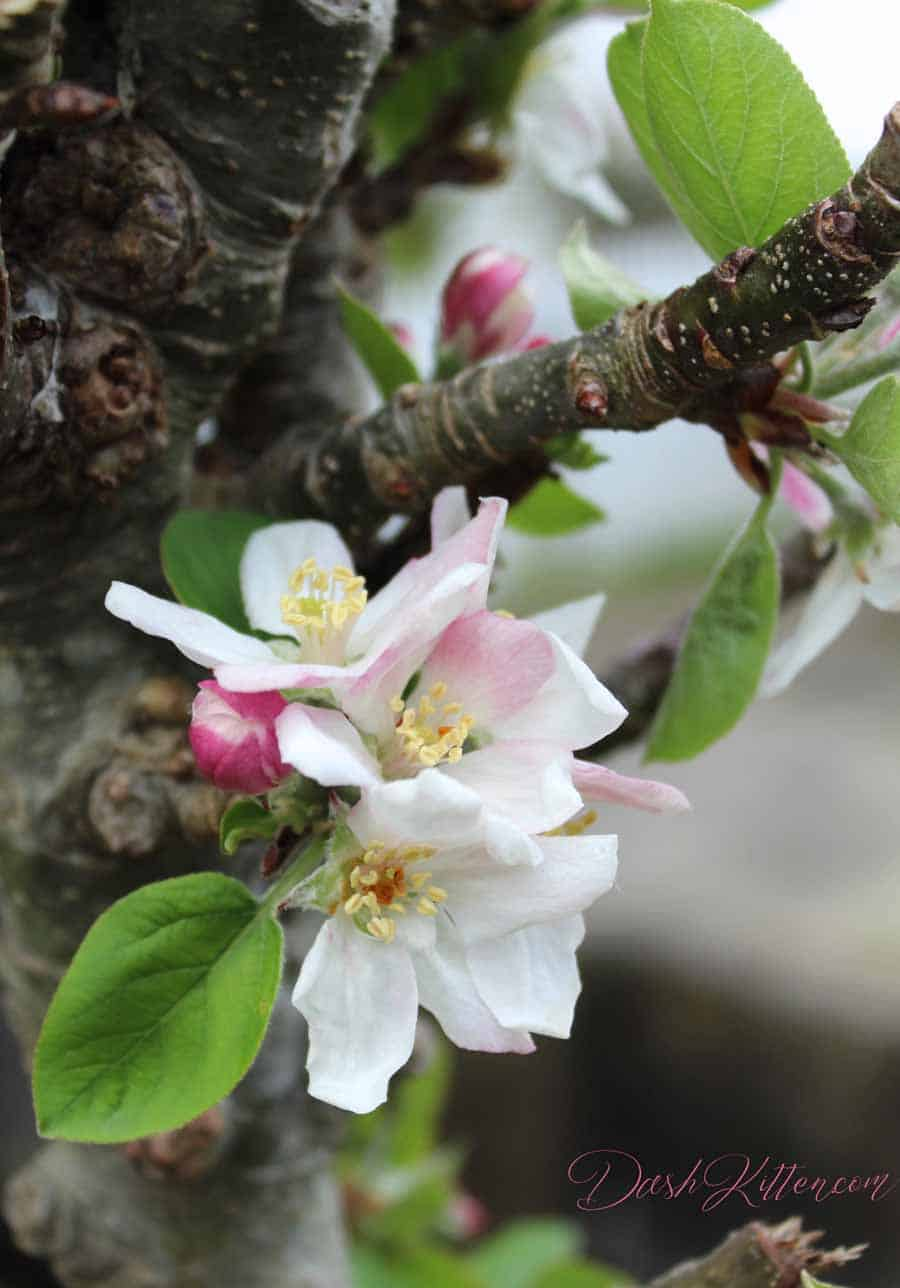A slightly different portrait. Apple blossom photograph. Showing how delicate the photo colour is.