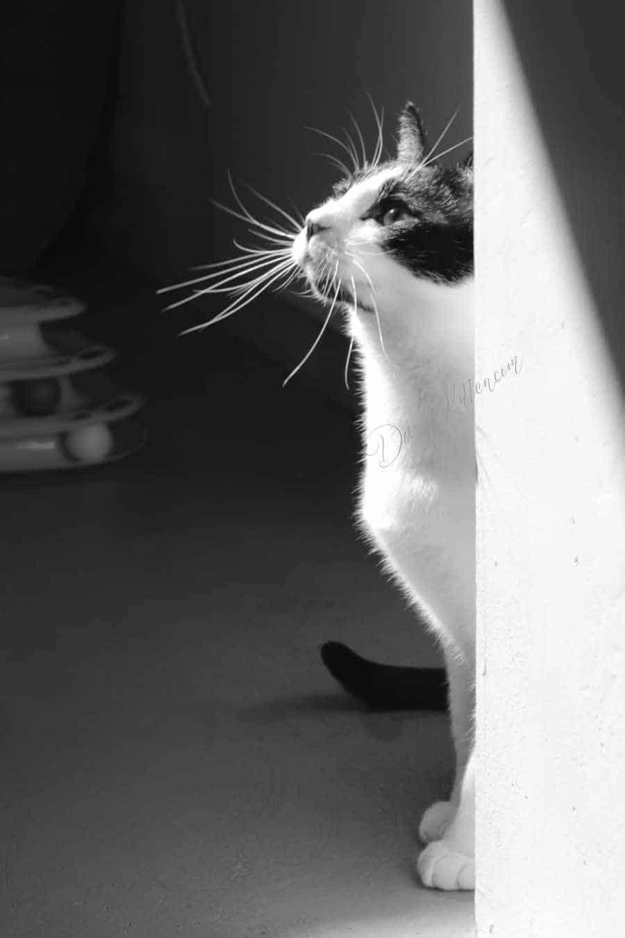 Portrait of a black and white cat. © DashKitten.com