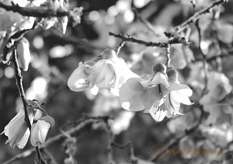 Change to greyscale. Black and white photograph of the Kowhai tree blossom