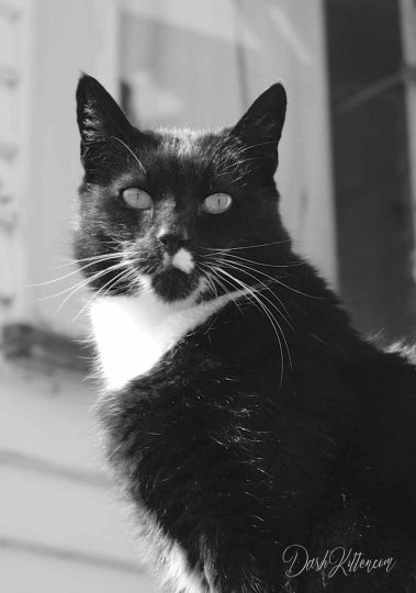 Tuxedo Cat in Portrait Format Black and White Monochrome